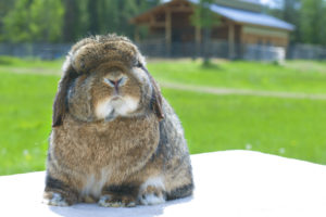 Luv Lops Rabbitry Holland Lops Of Show Quality And Color